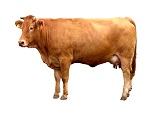 Cattle Futures